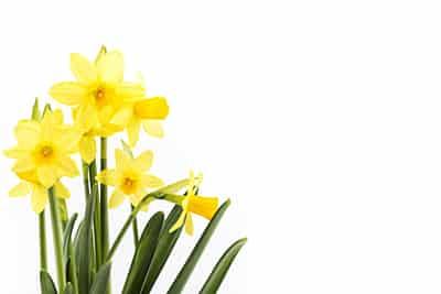 daffodil day raising awareness dental dangers